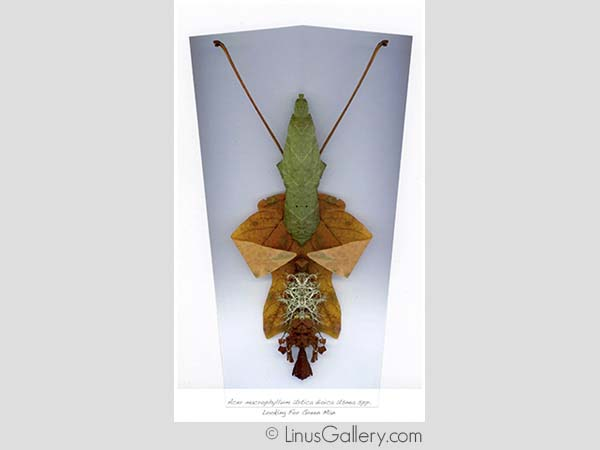 creature call for entries Fauna Artist John Rogers | Acer Macrophyllum